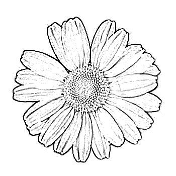 350x350 Daisy Flower Sketch