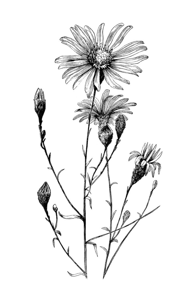 736x1133 Black And White Drawing Of A Flower In Bunches