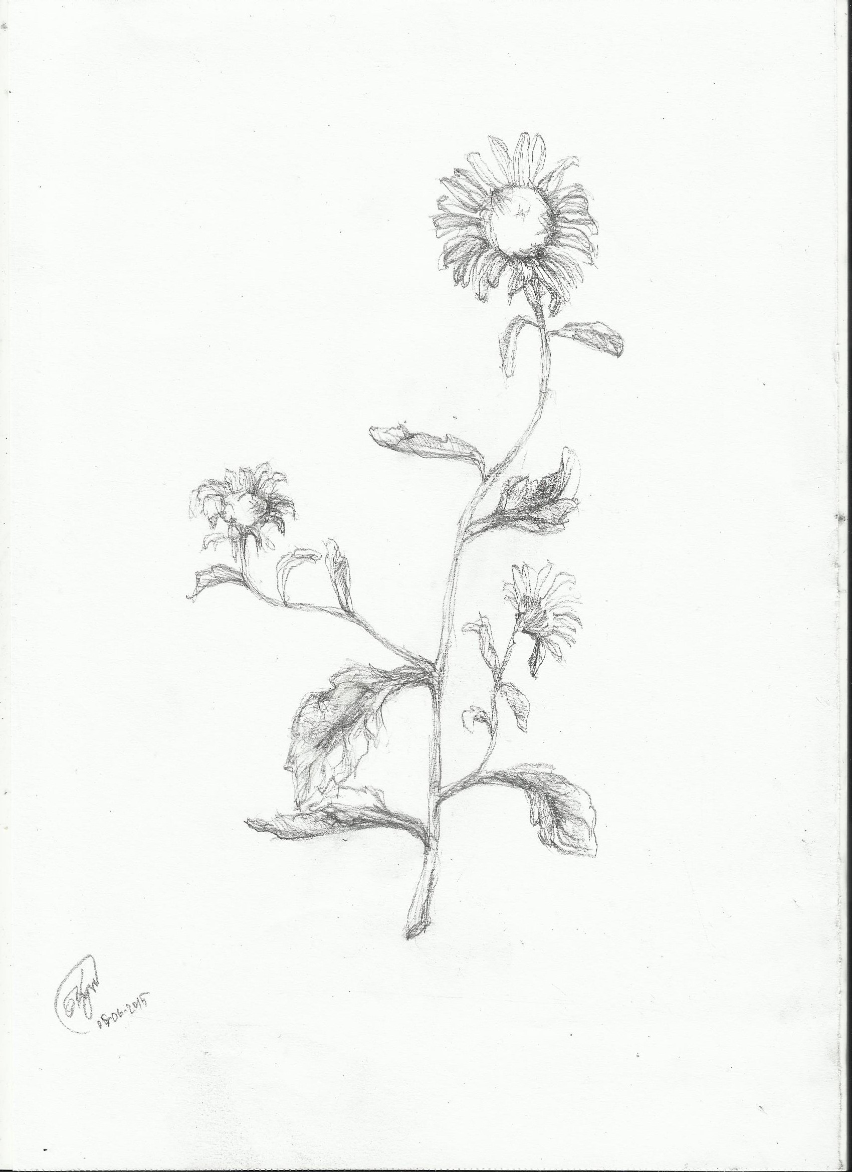 1700x2338 Daisy Drawing Nightwithdeer