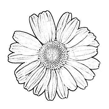 350x350 Daisy Clip Art Daisy Flower Sketch