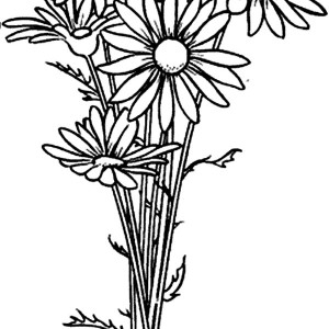 300x300 Daisy Flower Drawing Coloring Page