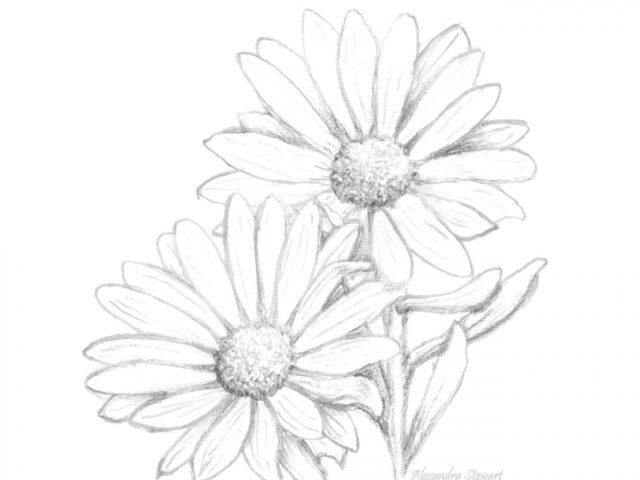 640x480 Daisy Flowers Drawings Drawn Daisy Pen