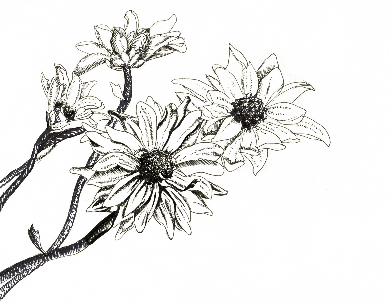 1600x1256 Drawn Daisy Pen And Ink