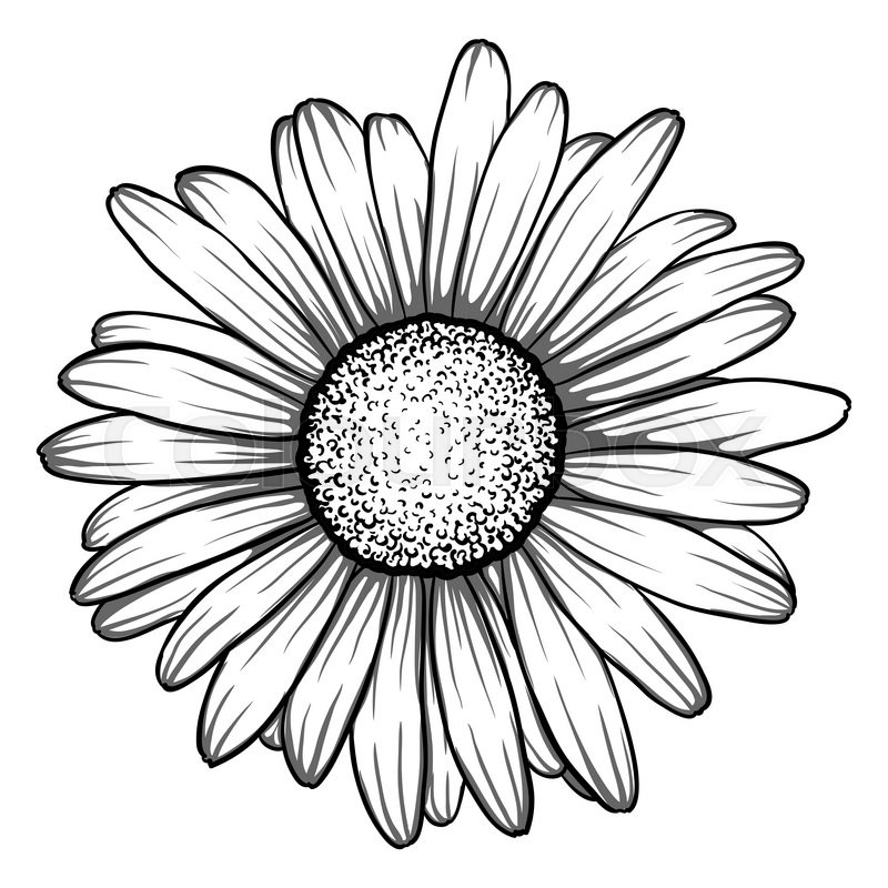 800x800 Beautiful Monochrome, Black And White Daisy Flower Isolated.