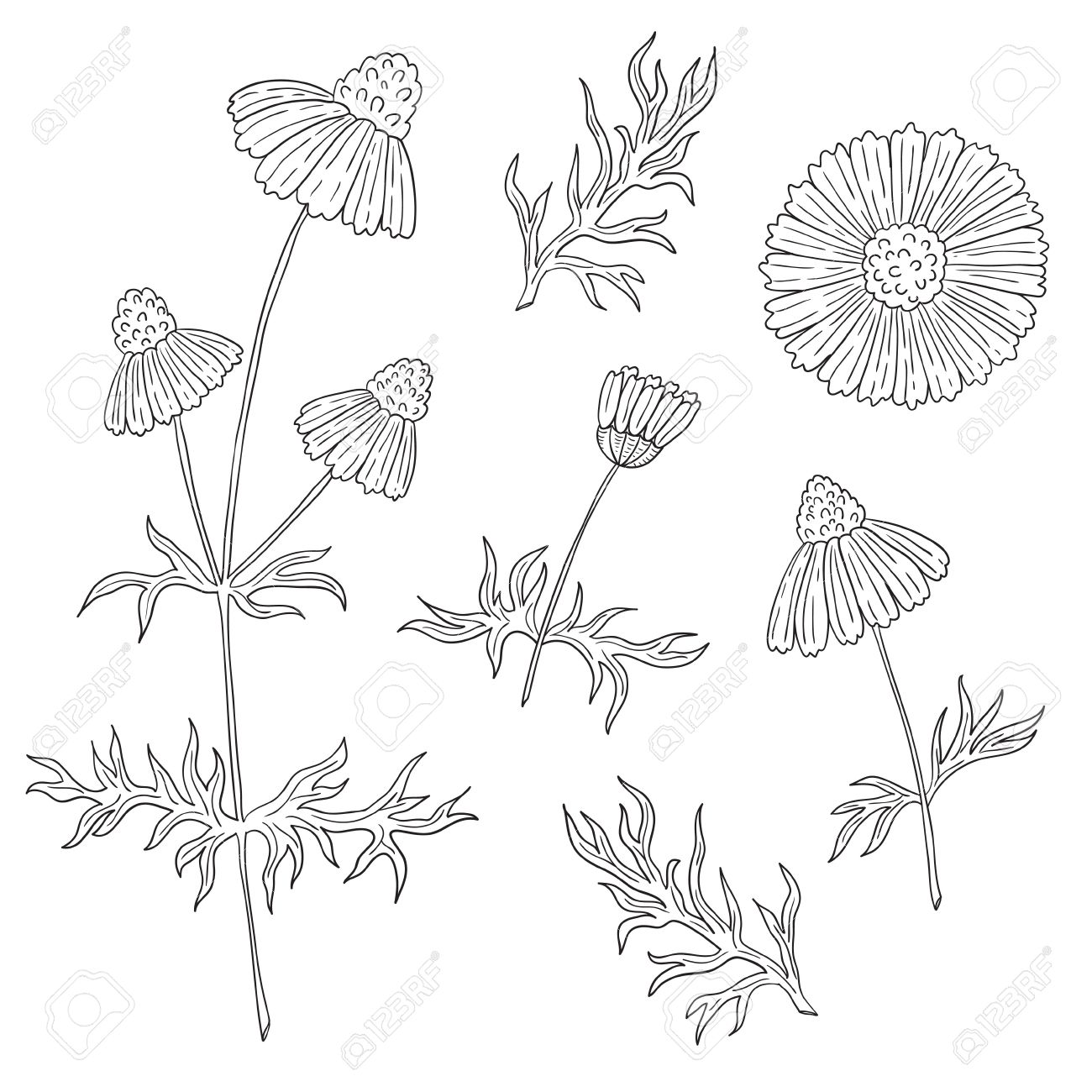 1300x1300 Camomile With Stem And Leaves Hand Drawing On A White Background