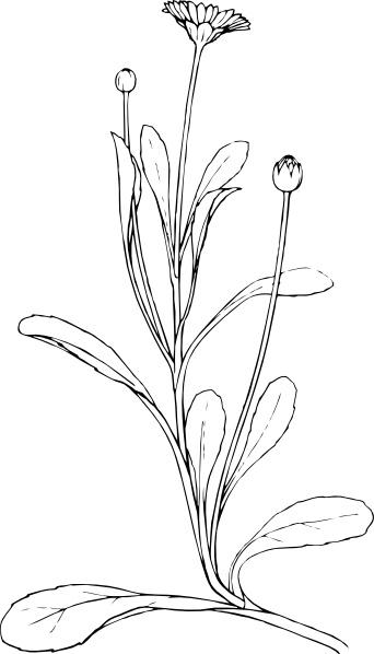 342x598 Field Daisy Plant Flower Clip Art Free Vector In Open Office