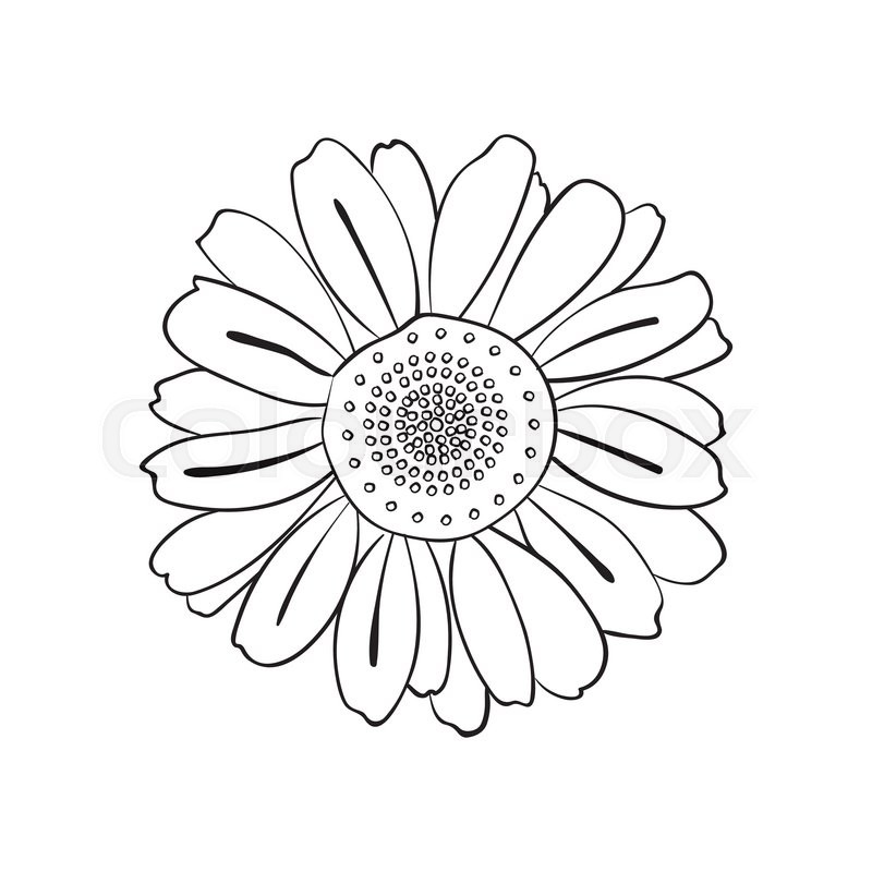800x800 Illustration Of Hand Drawn Daisy, Doodle Style Isolated On White