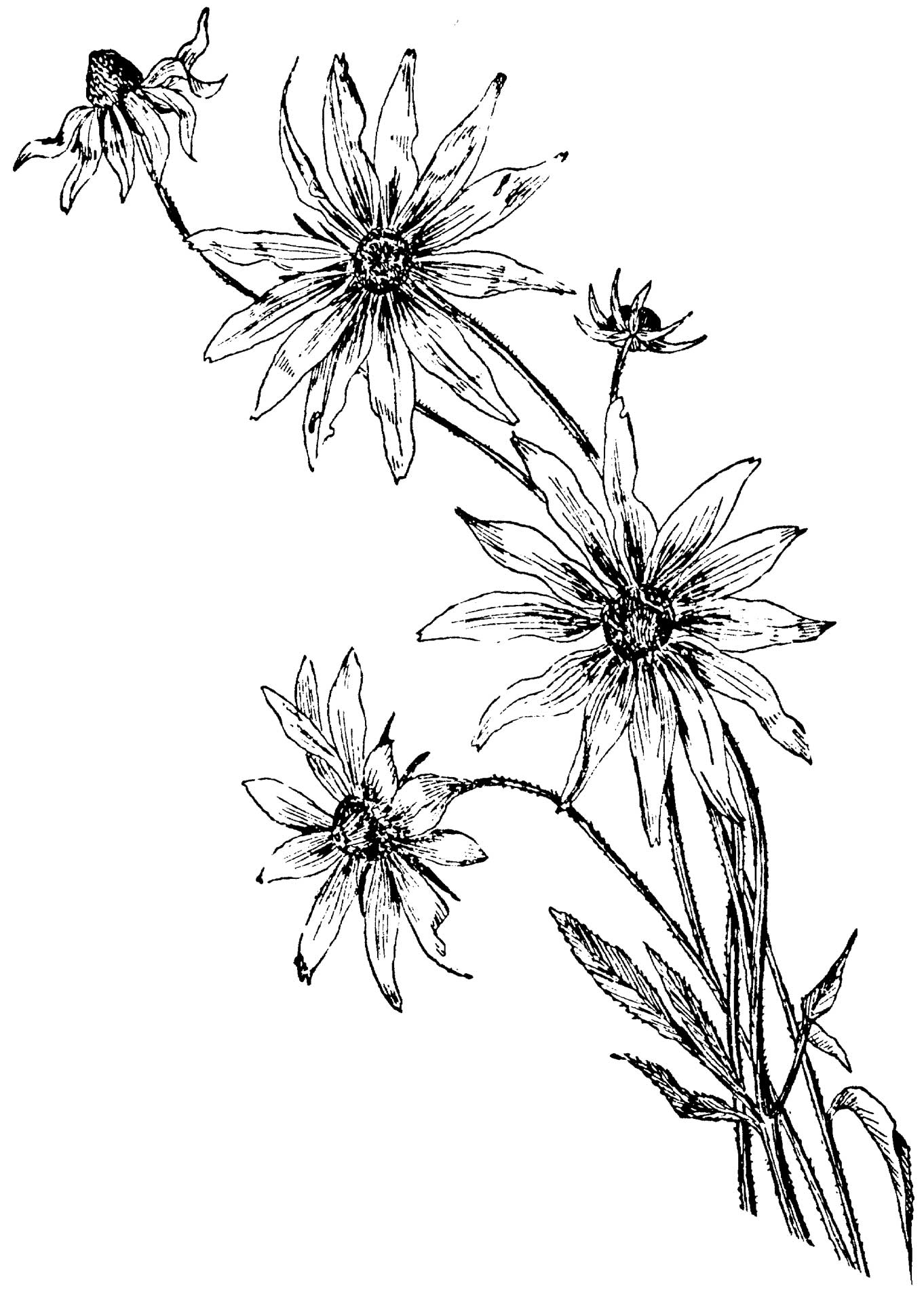 1362x1920 Coloring Pages Daisy Flower