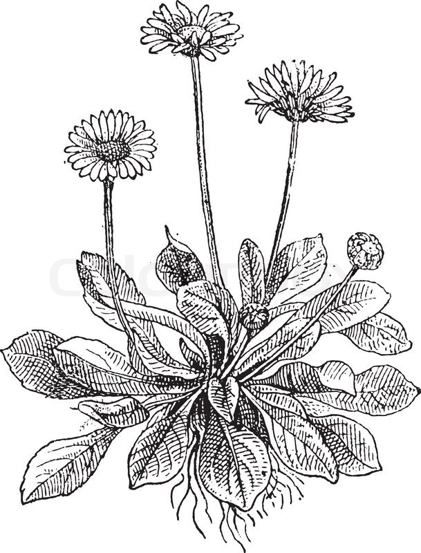 609x800 Common Daisy Or Bellis Perennis, Showing Flowers, Vintage Engraved