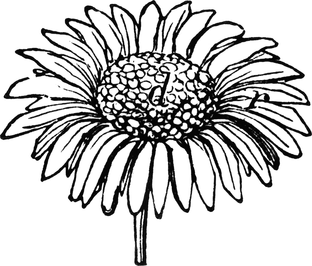 Daisy outline drawing at getdrawings free for personal use 1024x873 margarita flower drawing daisy hand drawn clipart izmirmasajfo Gallery