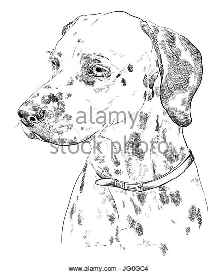 433x540 Black Spotted Dalmatian Stock Photos Amp Black Spotted Dalmatian
