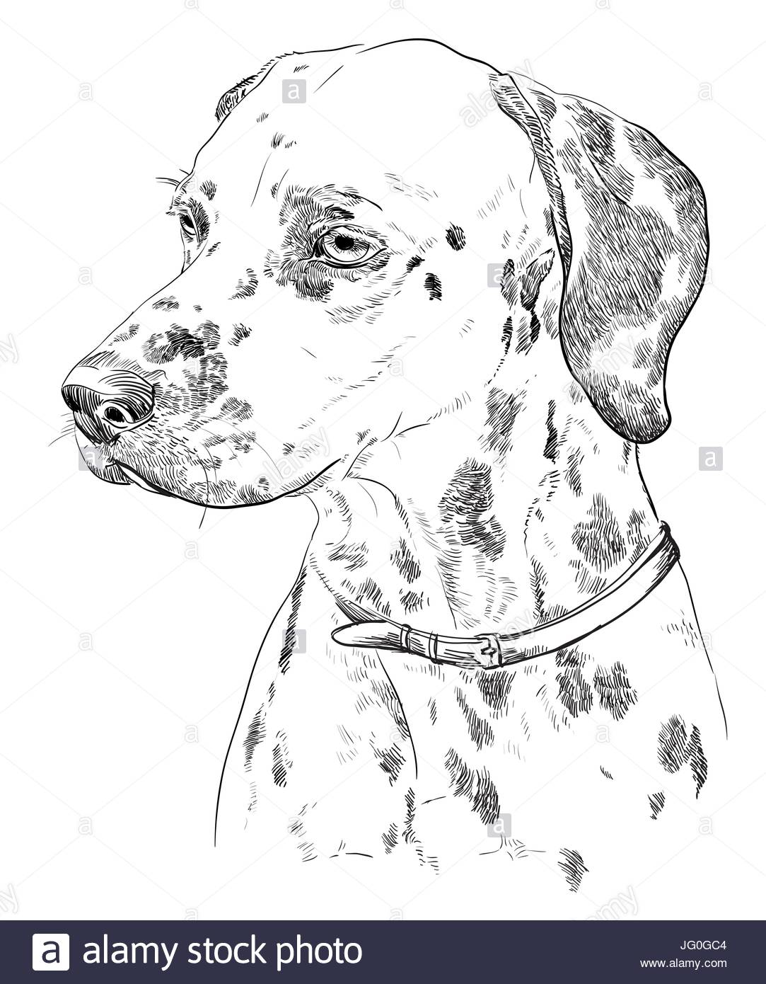 1083x1390 Vector Portrait Of Dalmatian In Black Color Hand Drawing