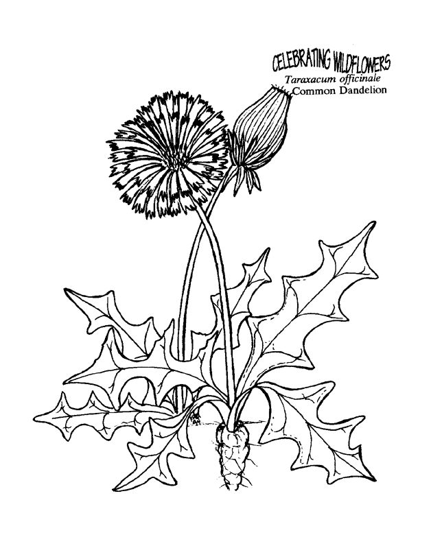 Dandelion Blowing Drawing