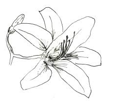 Daylily Drawing
