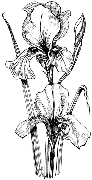 308x600 Iris Drawing The World's Catalog Of Ideas Flower