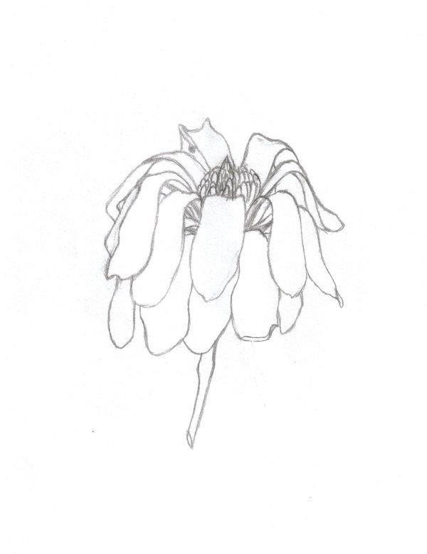 600x777 Wilting Flower Drawing