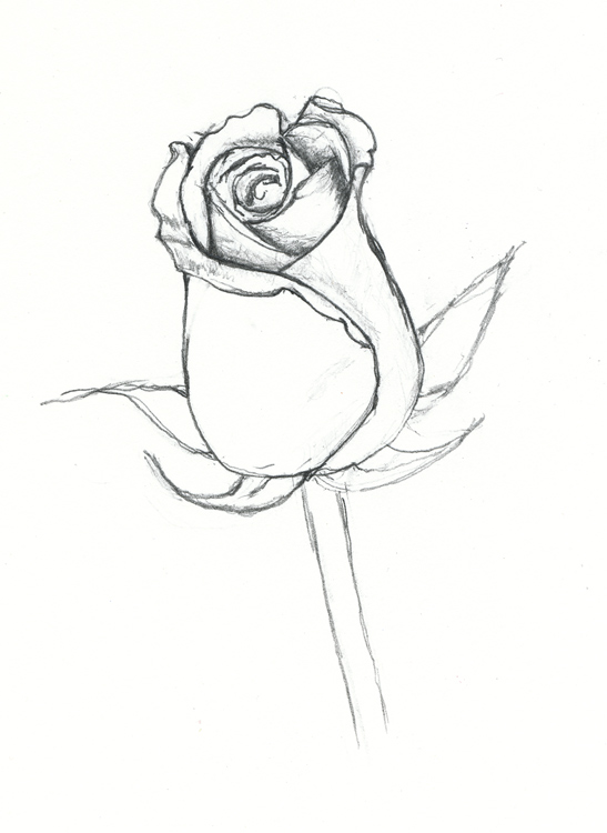 547x750 New Dead Rose Drawing Step By Step Archive 1