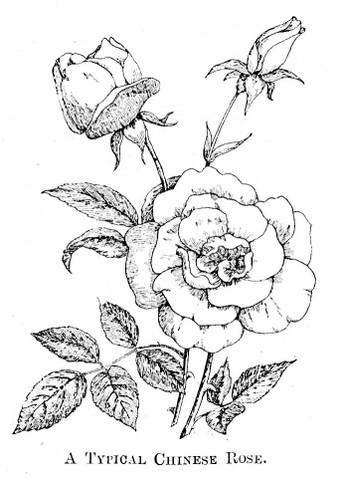 340x480 Old China Roses