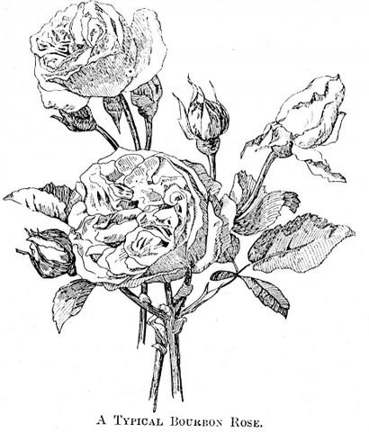 410x480 Bourbon Roses