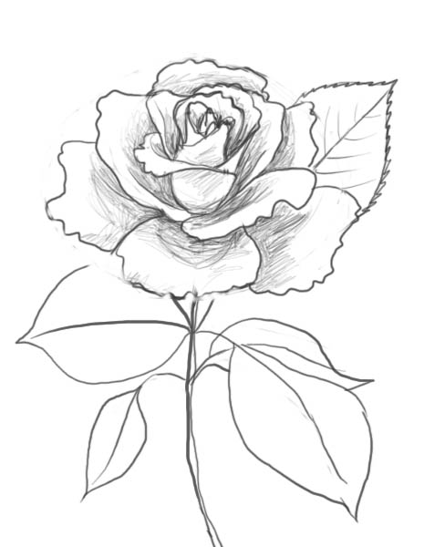 488x600 Crazy Rose Drawing Crazy Rose Drawing
