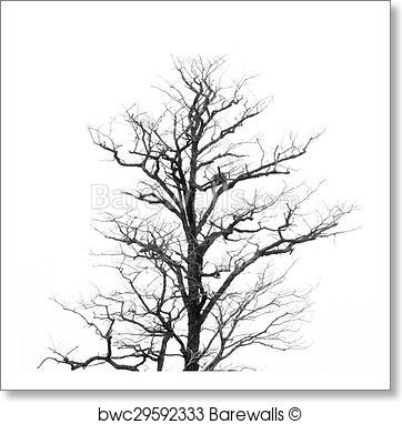 362x382 Art Print Of Dead Tree Without Leaves Barewalls Posters Amp Prints
