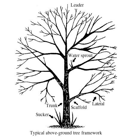 435x460 A Guide To Successful Pruning, Pruning Deciduous Trees Vce
