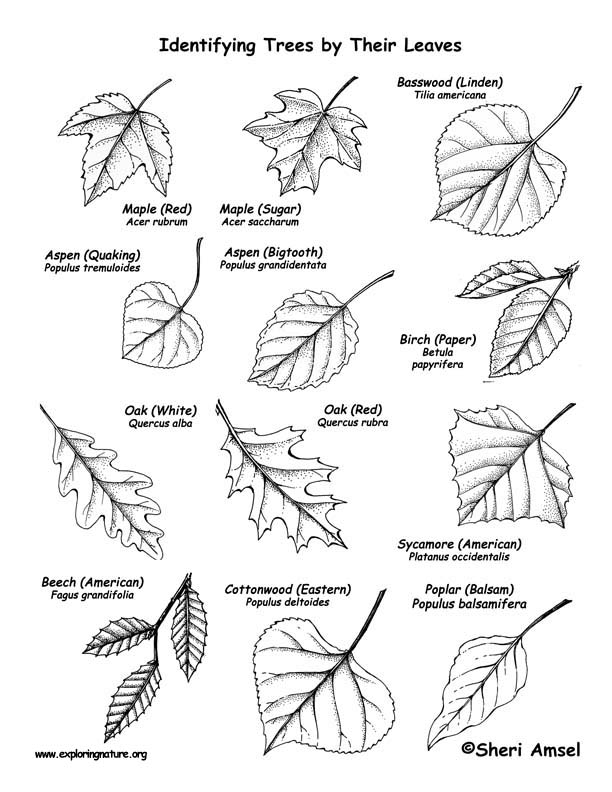 612x792 Trees (Deciduous By Their Leaves) Labeling Page