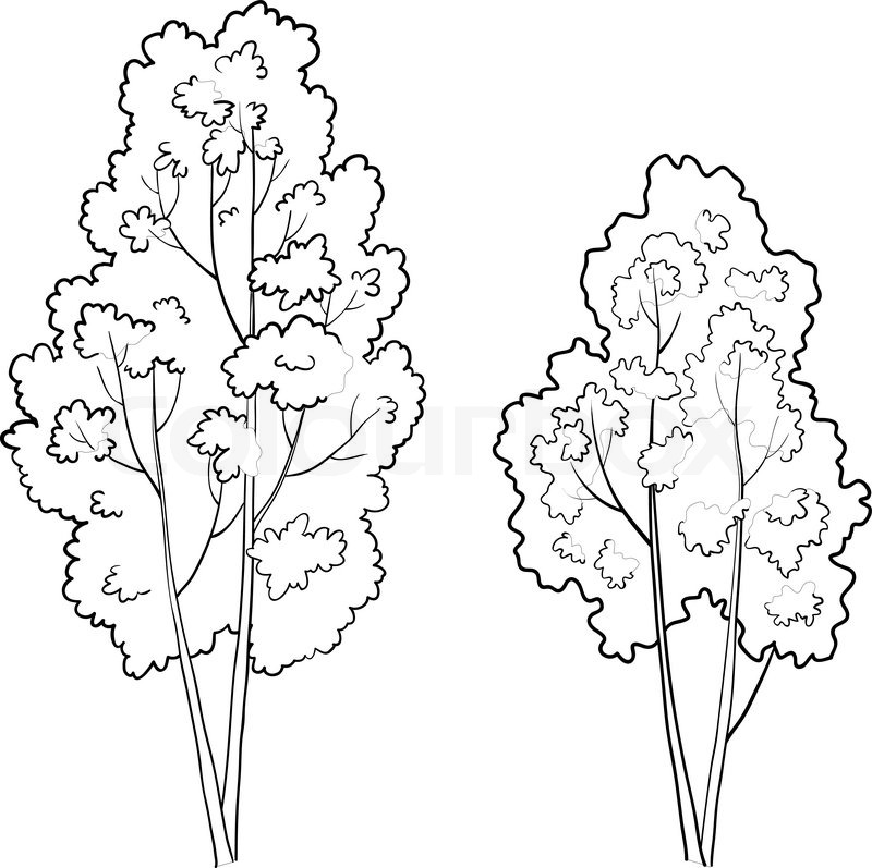 800x797 Vector, The Forest Deciduous Trees, Monochrome Contours On A White