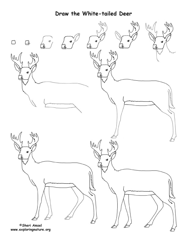 612x792 Deer (White Tailed) Drawing Lesson