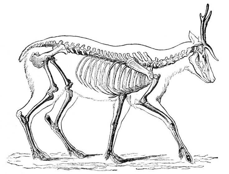 736x559 The Best Deer Skeleton Ideas On Irish Elk, Irish