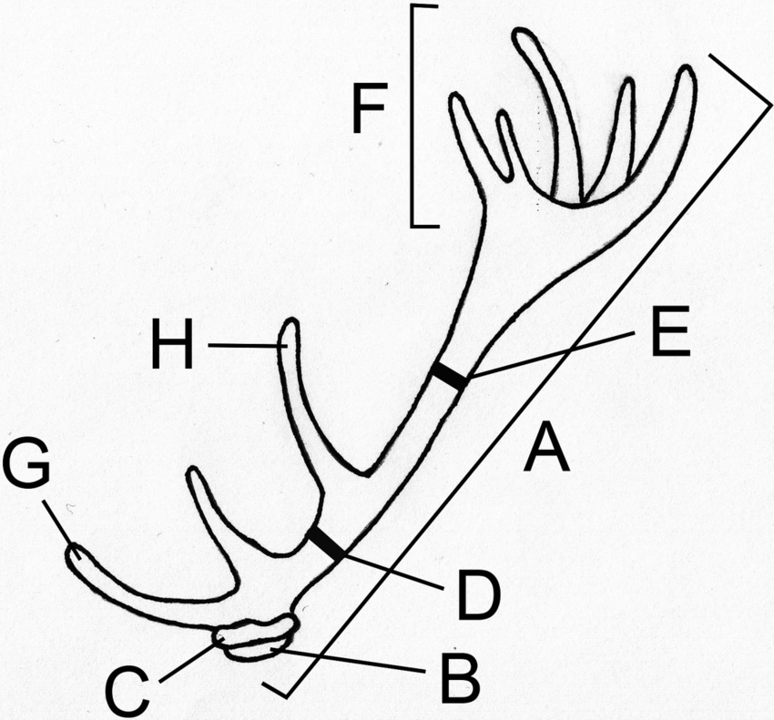 850x791 Diagram Showing Red Deer Antler Measurements A, Beam Length B
