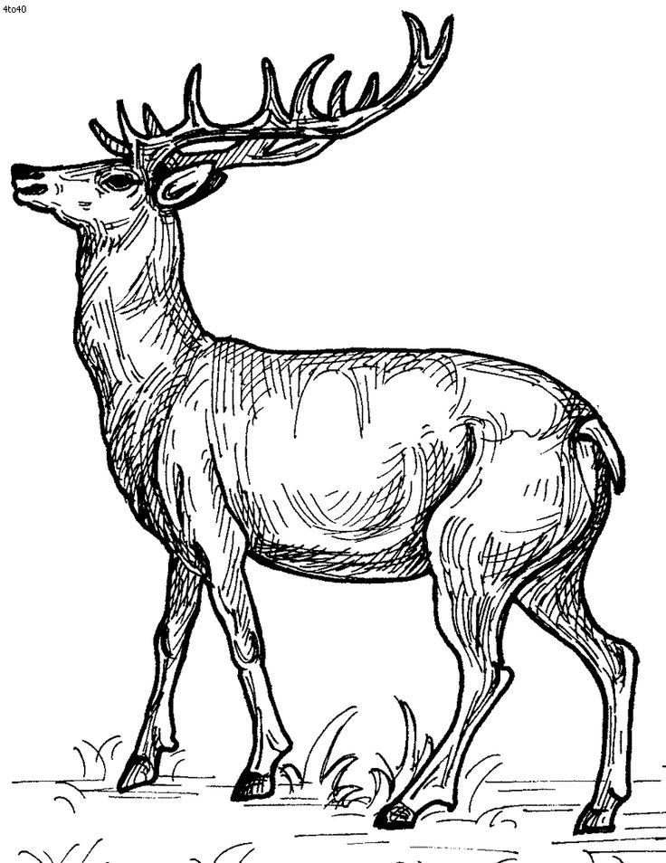 736x954 Drawn Deer Dear Animal