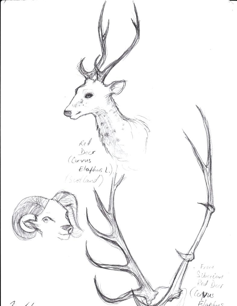 786x1017 Diagram Diagram Of Whitetail Deer Skull
