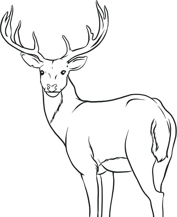 600x736 Free Deer Coloring Pages