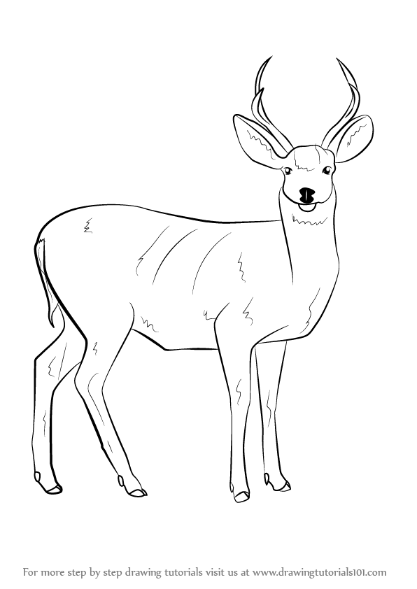 596x842 Learn How To Draw A Mule Deer (Wild Animals) Step By Step