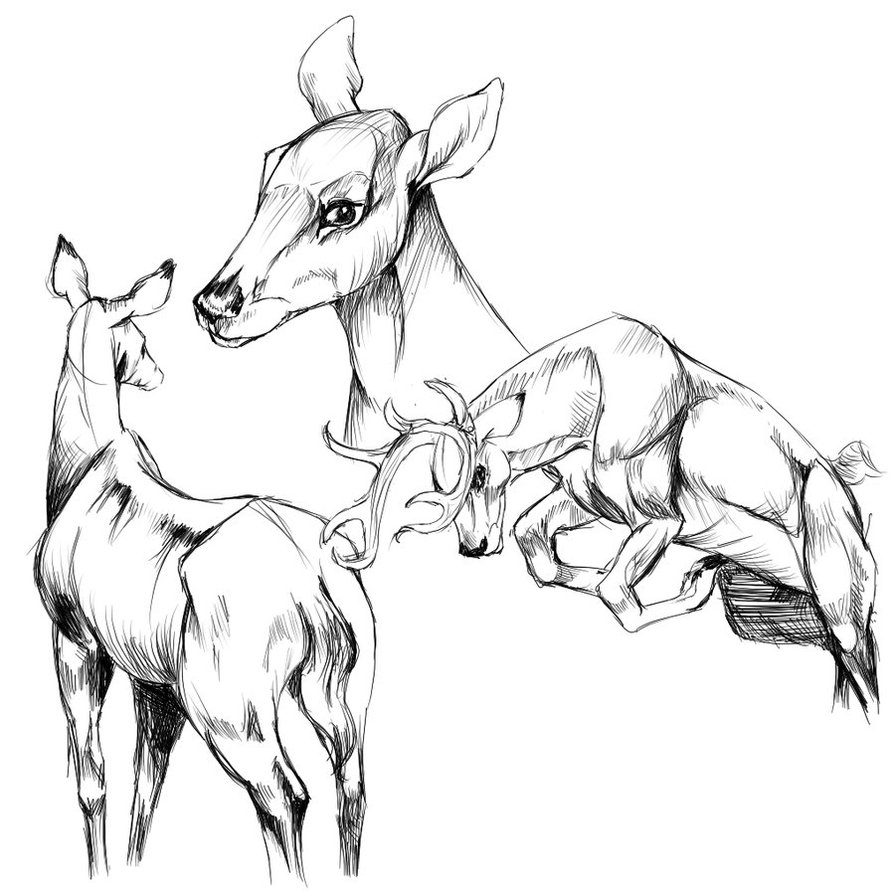 895x892 Deer Anatomical Drawings By Buttermutt