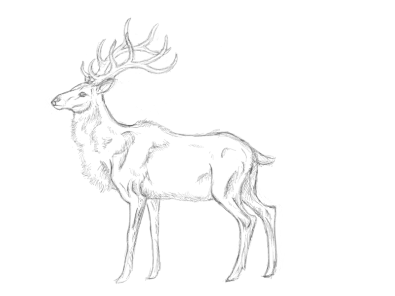 800x600 Deer Sketch By Liloup