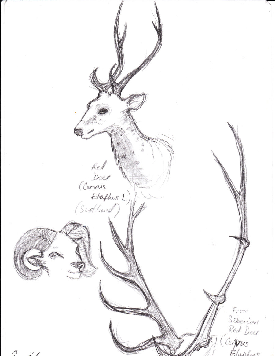 900x1165 Animal Study Deer And Antlers By Efmourn