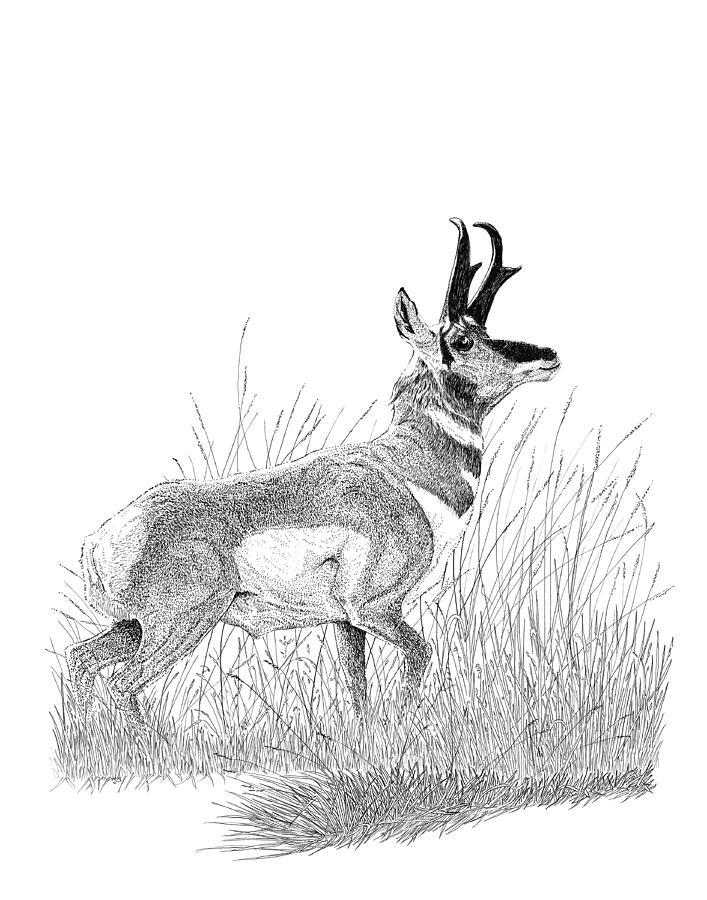 707x900 Antlers Drawings