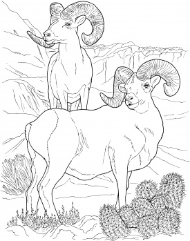 275x349 Image Detail For Desert Bighorn Sheep Coloring Page Super
