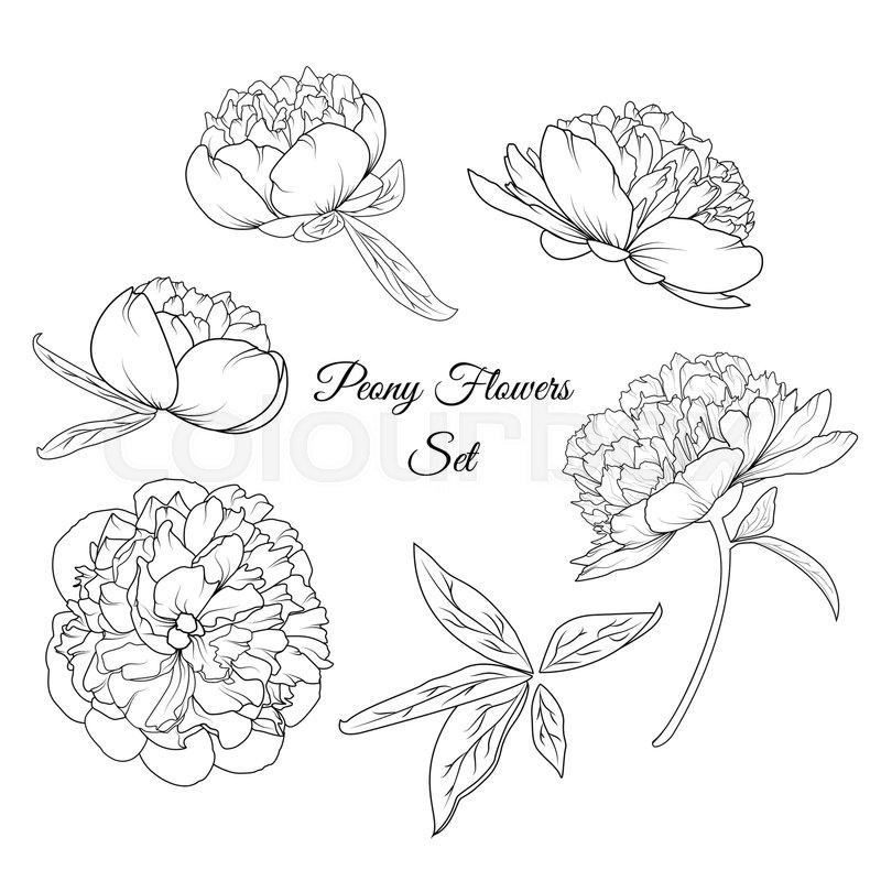 800x800 Peony Rose Flowers Shrub Vector Design Illustration Reusable