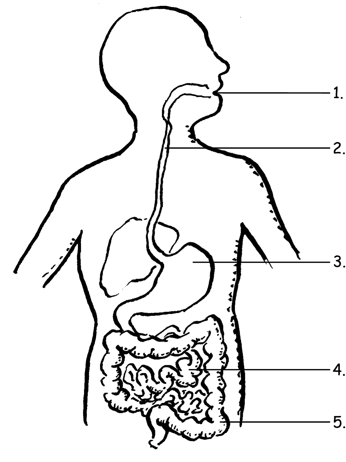 Sketch Of Human Digestive System at PaintingValley.com ...