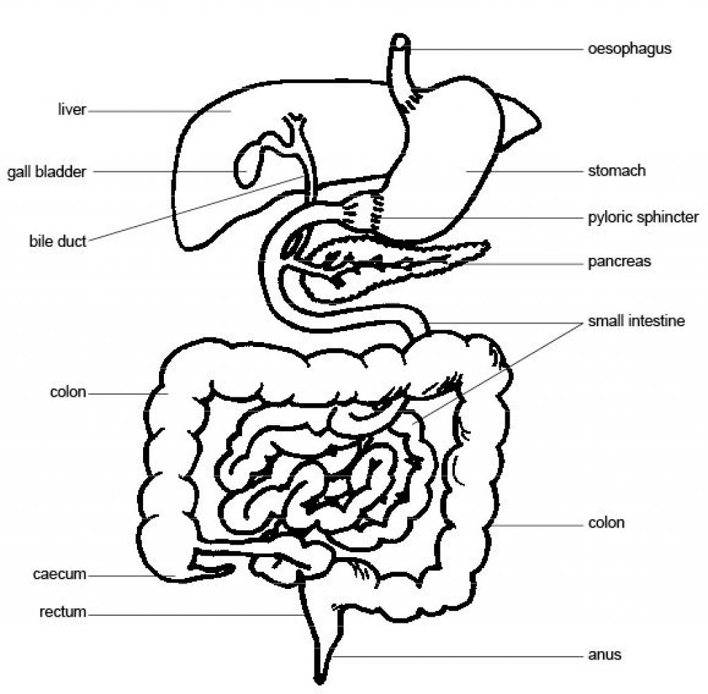 digestive system drawing at getdrawings com