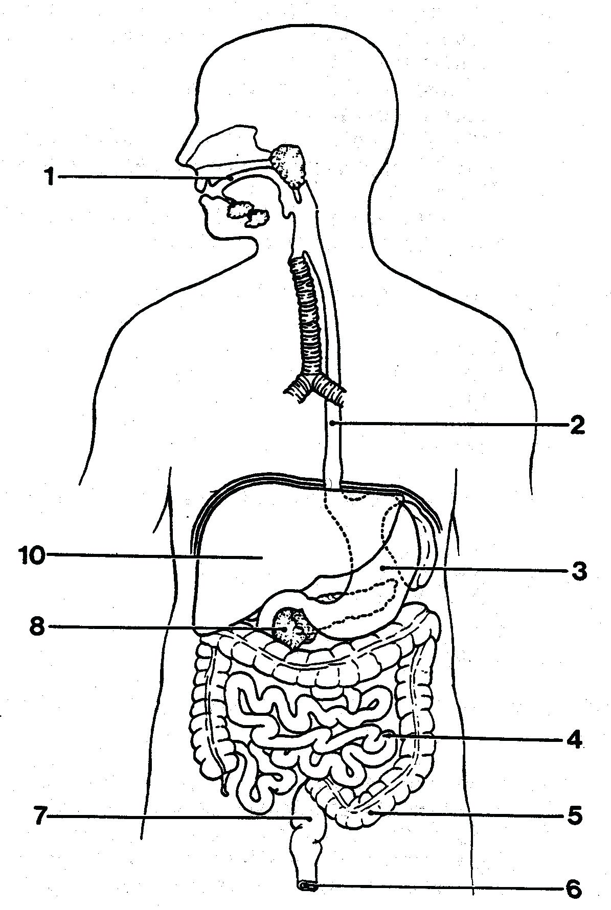 Digestive system drawing at getdrawings free for personal use 1195x1781 diagram large intestine diagram blank simple digestive system ccuart Image collections