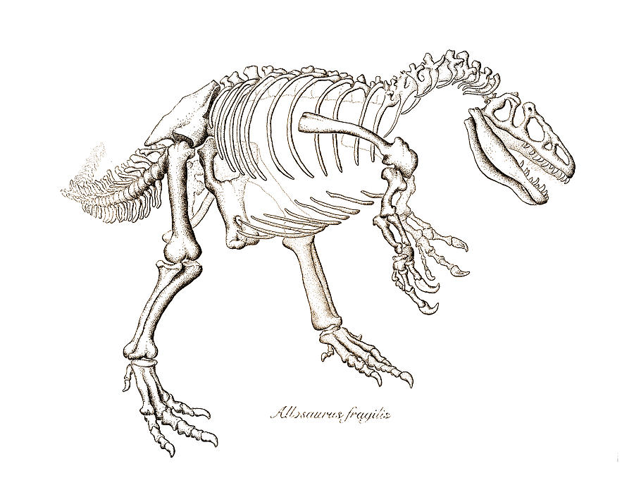 900x712 Allosaurus Skeleton Drawing By Karla Beatty