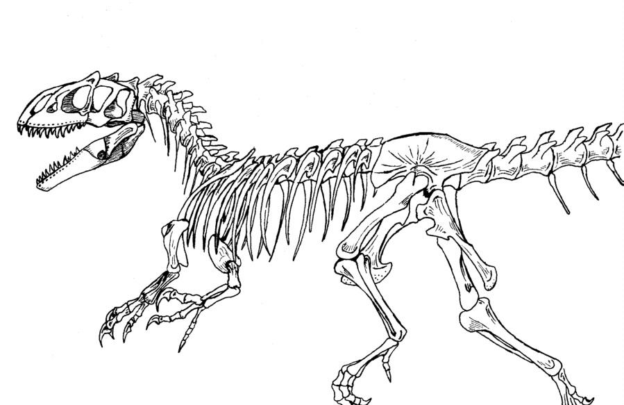 899x583 Allosaurus Skeleton By Donyaquick