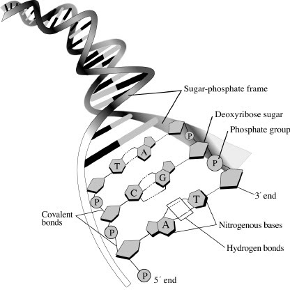416x419 7.1 Dna Structure And Replication