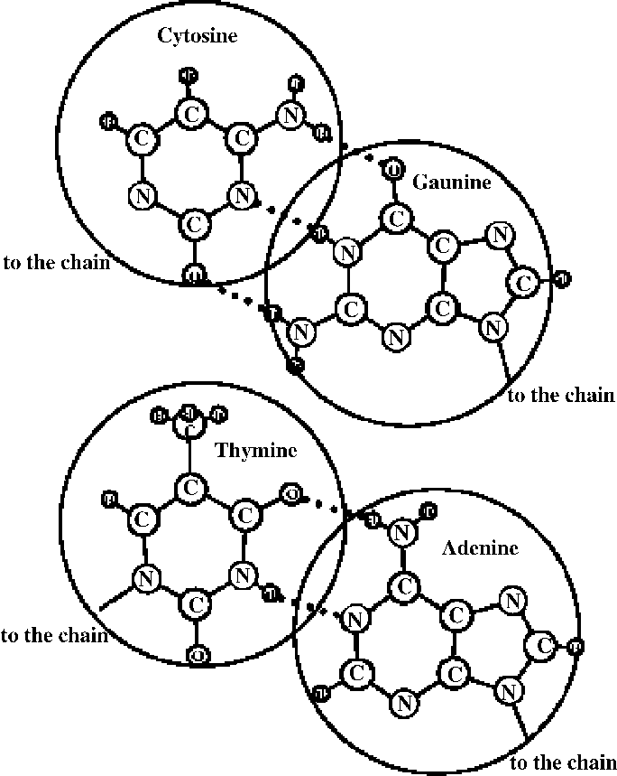 684x859 Agreement Between The Sizes Of N Bases Entering Into A Dna Double
