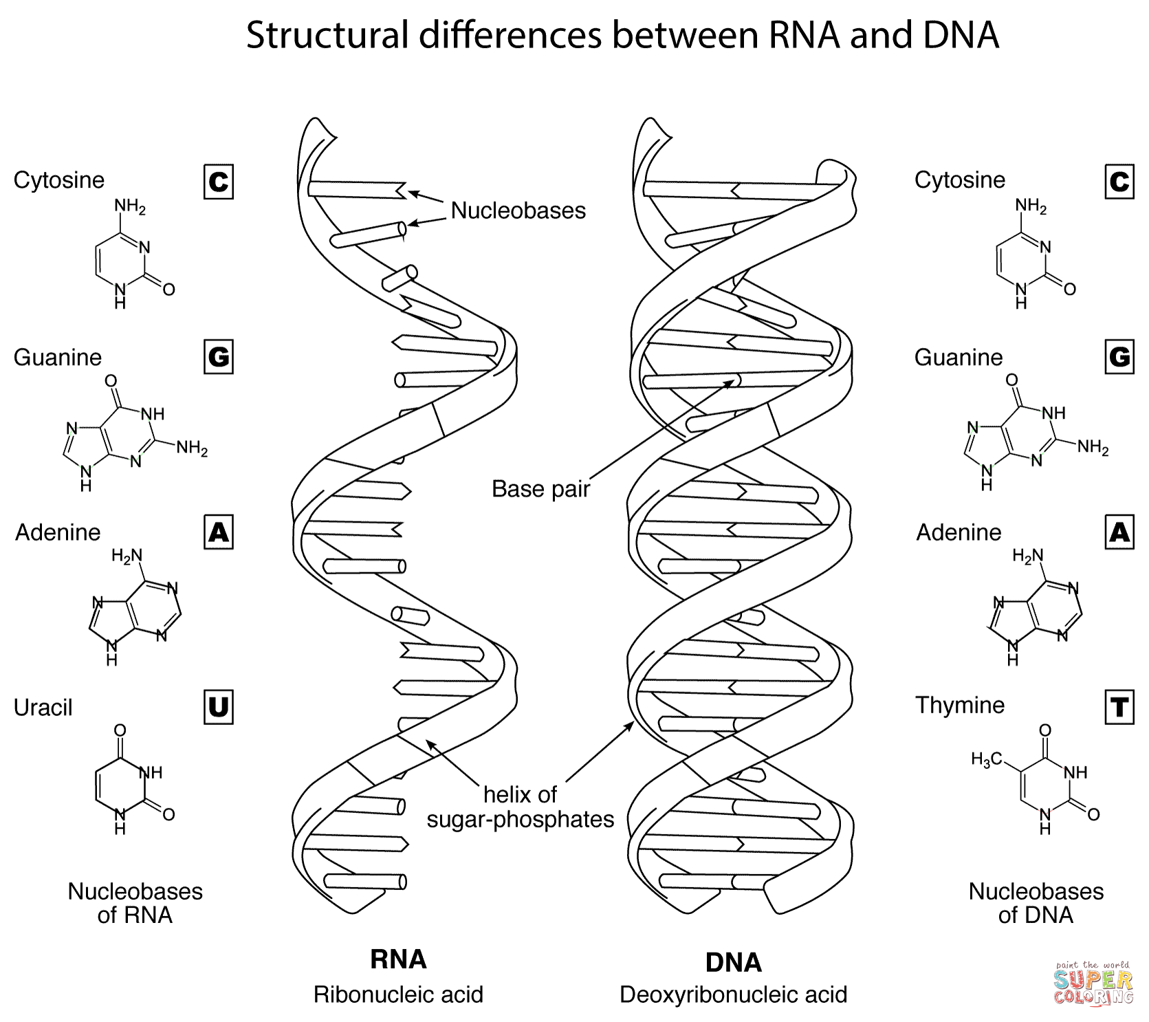 1671x1486 Structural Differences Between Rna And Dna Coloring Page Free Best