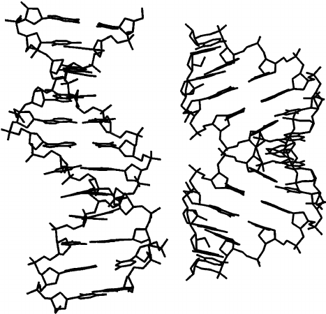 467x450 Structures Of The B A Form Of The Dna Double Helix (Left